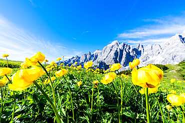 Bottondoro (globeflowers) (Trollius europaeus) flowers in bloom framing Cima dei Colesei and Popera group mountains, Comelico, Dolomites, Veneto/South Tyrol, Italy, Europe