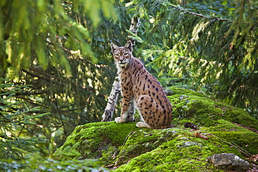 A lynx in the Bavarian National Park, Bavaria, Germany, Europe