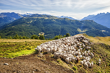 A flock of sheep in the pastures of Mount Padrio, Orobie Alps, Valtellina, Lombardy, Italy, Europe