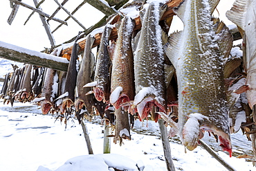 Drying codfish, a typical Norwegian product, Svensby, Lyngen Alps, Troms, Lapland, Norway, Scandinavia, Europe