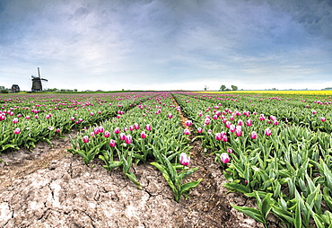 Panoramic view of multi-coloured fields of tulips and windmills, Berkmeer, Koggenland, North Holland, Netherlands, Europe