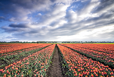 Spring clouds over fields of multi-coloured tulips, Schermerhorn, Alkmaar, North Holland, Netherlands, Europe