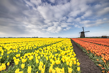 Multi-coloured fields of tulips at spring with windmill in the background, Schermerhorn, Alkmaar, North Holland, Netherlands, Europe