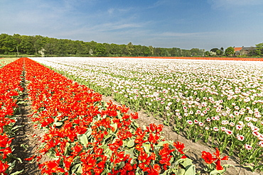 The red and white tulips colour the landscape in spring, Keukenhof Park, Lisse, South Holland, Netherlands, Europe