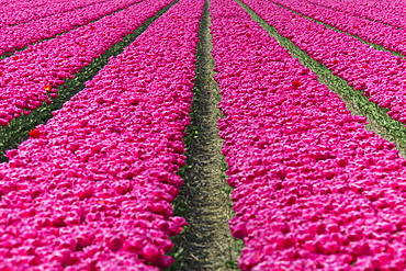 The colourful scenery of spring fields of tulips, Keukenhof Park, Lisse, South Holland, Netherlands, Europe