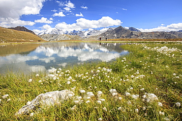 Cottongrass (eriophorum) blooming by the banks of Lake D'Oro and Lake Umbrail in Valtellina, Lombardy, Italy, Europe