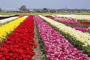 Multicolored tulip fields frame the village in spring, Berkmeer, Koggenland, North Holland, Netherlands, Europe