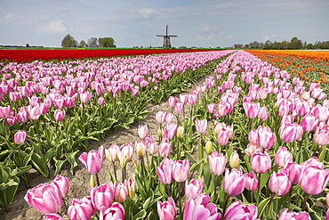 Multicolored tulip fields frame the windmill in spring, Berkmeer, Koggenland, North Holland, Netherlands, Europe