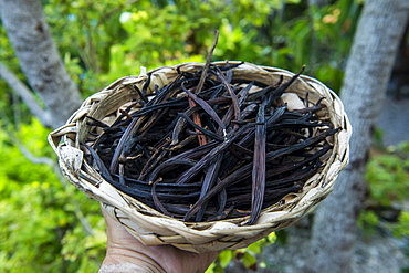 Close up of vanilla plants on a vanilla plantation (Vanilla planifolia), Ouvea, Loyalty Islands, New Caledonia, Pacific