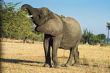African bush elephant (Loxodonta africana) eating from a tree, Liwonde National Park, Malawi, Africa