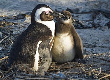 African penguins (jackass penguins) (Spheniscus demersus), Boulders Beach, Cape of Good Hope, South Africa, Africa