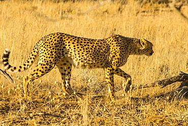 South African cheetah (Acinonyx jubatus jubatus), Kalahari Transfrontier Park, South Africa, Africa