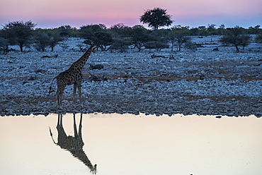 Giraffe reflected in the water of a waterhole, Okaukuejo Rest Camp, Etosha National Park, Namibia, Africa