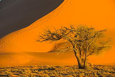 Acacia tree below the giant Sand Dune 45, Sossusvlei, Namib-Naukluft National Park, Namibia, Africa