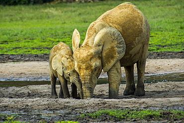 African forest elephant (Loxodonta cyclotis), Dzanga Bai, UNESCO World Heritage Site, Dzanga-Sangha Special Reserve, Central African Republic, Africa