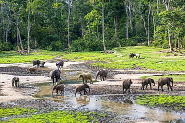 African forest elephants (Loxodonta cyclotis) at Dzanga Bai, UNESCO World Heritage Site, Dzanga-Sangha Special Reserve, Central African Republic, Africa