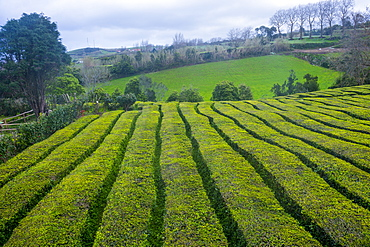 Tea plantations on the Island of Sao Miguel, Azores, Portugal, Atlantic, Europe