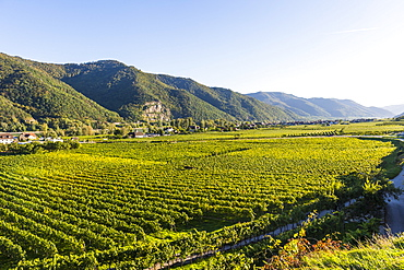 Vineyards in Weissenkirchen on the Danube, Wachau, UNESCO World Heritage Site, Austria, Europe
