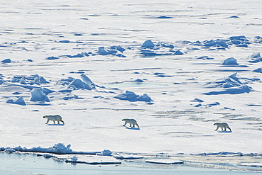 Mother Polar bear (Ursus maritimus) with their cubs in the high arctic near the North Pole, Arctic, Russia, Europe