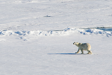 Polar bear (Ursus maritimus) in the high arctic near the North Pole, Arctic, Russia, Europe