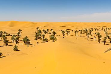 Palm grove in the sanddunes, near Timimoun, western Algeria, North Africa, Africa