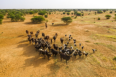 Aerial of cattle moving to a waterhole, Gerewol festival, courtship ritual competition among the Wodaabe Fula people, Niger, West Africa, Africa