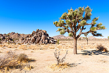 Joshua tree in the Joshua Tree National Park, California, United States of America, North America
