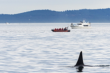 Killer whales (orca) (Orcinus orca), San Juan islands, Washington State, United States of America, North America