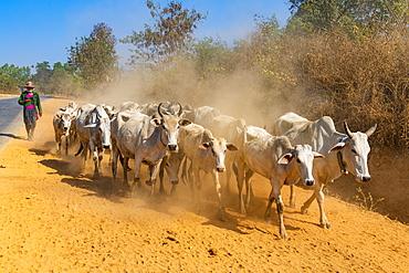 Cows walking along a road, Inle Lake, Shan state, Myanmar (Burma), Asia
