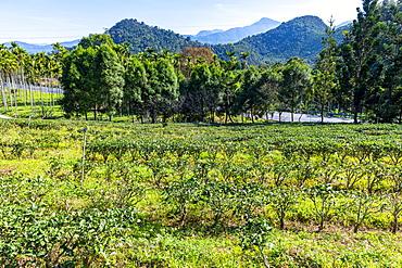 Tea plants, antique Assam Tea Farm, Sun Moon Lake National Scenic Area, Nantou county, Taiwan, Asia