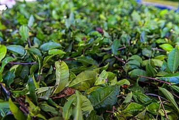 Tea processing in the Antique Assam Tea Farm, Sun Moon Lake National Scenic Area, Nantou county, Taiwan, Asia