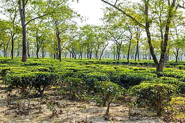 Tea fields on a Tea plantation, Assam, India, Asia