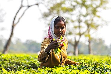 Woman picking tea from tea plants on a tea plantation, Assam, India, Asia