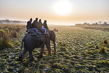 Early morning elephant ride on elephants through the elephant grass, Kaziranga National Park, UNESCO World Heritage Site, Assam, India, Asia