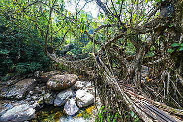 Living Root Bridge, Sohra (Cherrapunjee), Meghalaya, India, Asia