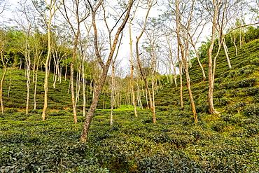 Tea plants on a Tea plantation in Sreemagal, Bangladesh, Asia