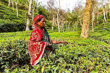 Woman picking Tea leaves on a Tea plantation in Sreemagal, Bangladesh, Asia