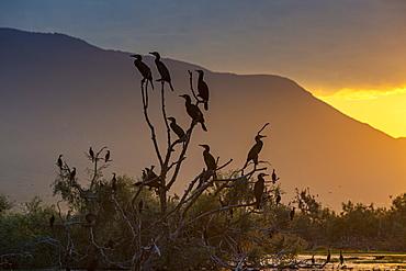 Cormorants (Phalacrocoracidae) sitting in a tree at sunrise,, Lake Kerkini, Macedonia, Greece, Europe