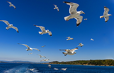 Seagulls (Laridae) flying behind a tourist boat, Mount Athos, Central Macedonia, Greece, Europe