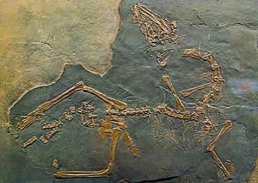 Fossils on dispaly, Museum of fossils from Meride, Unesco world heritage site Monte San Giorgio, Switzerland