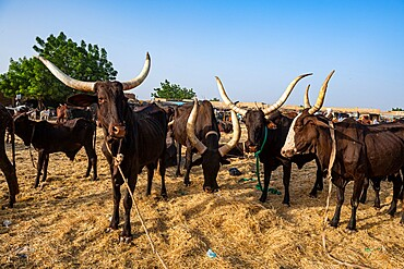 Cows with huge horns, Animal market, Agadez, Niger, Africa