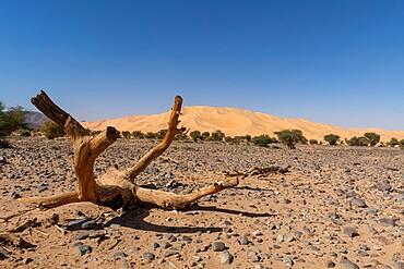'crab's claw' Arakao sand dune, Tenere desert, Niger