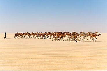 Camel caravan on the Djado Plateau, Sahara, Niger, Africa