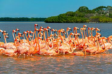American flamingo (Phoenicopterus ruber), Rio Celestun UNESCO Biosphere Reserve, Yucatan, Mexico, North America
