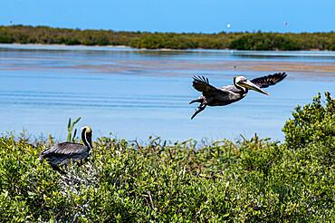Brown pelican (Pelecanus occidentalis), Holbox island, Yucatan, Mexico, North America