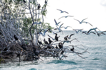Birds in the mangroves, Holbox island, Yucatan, Mexico, North America