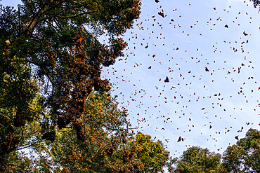 Monarch Butterfly Biosphere Reserve, UNESCO World Heritage Site, El Rosario, Michoacan, Mexico, North America
