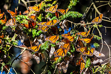 Millions of butterflies covering trees, Monarch Butterfly Biosphere Reserve, UNESCO World Heritage Site, El Rosario, Michoacan, Mexico, North America