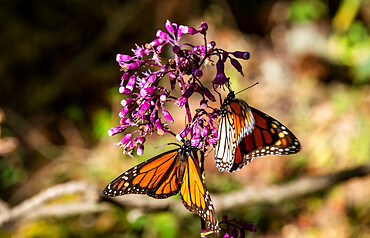 Close up of Monarch butterflies (Danaus plexippus), Monarch Butterfly Biosphere Reserve, UNESCO World Heritage Site, El Rosario, Michoacan, Mexico, North America