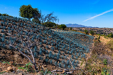 Blue Agave field, UNESCO World Heritage Site, Tequila, Jalisco, Mexico, North America